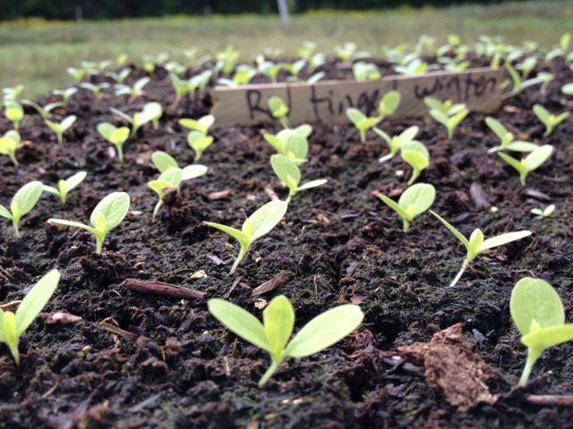 seed;ings