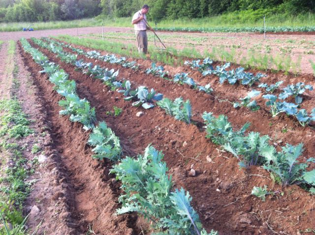 David giving finishing touches to the hilled brassicas