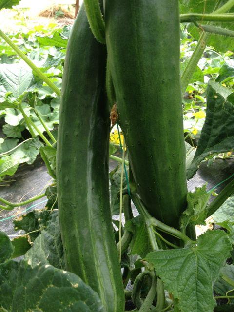 cucumber time!