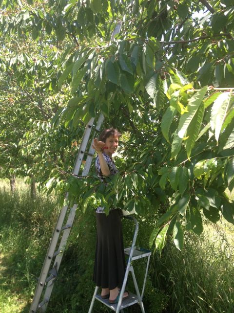 Jen picking cherries