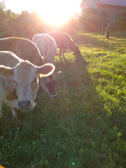 cowssunbeams