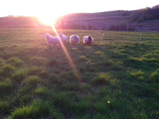 sunburst sheep