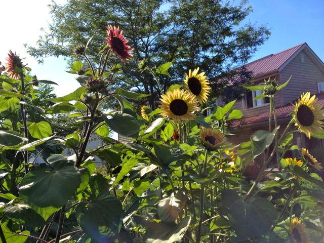 sunflowersinfrontofhouse