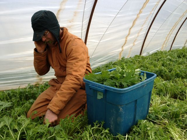A typical scene: David harvesting winter greens while talking on the phone