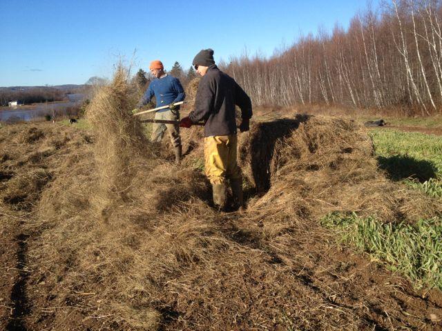 Mulching garlic