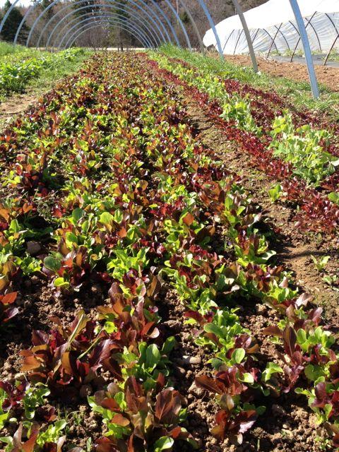 lettucehoops