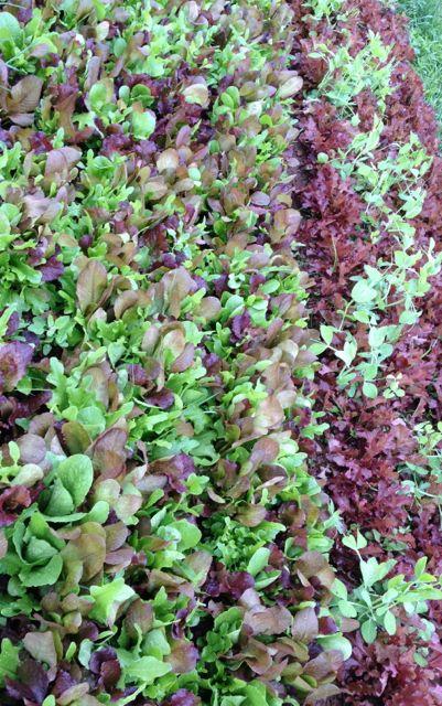 lettucelettuce