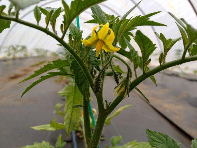 tomatodark