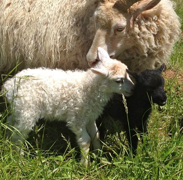 Twin girl lambs