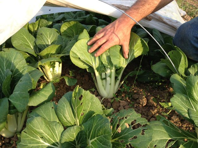 New this week: bok choi