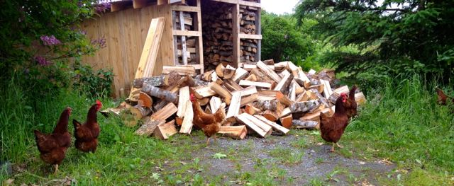 The hens offered to help us stack firewood, but I don't think it is an effective allocation of resources.