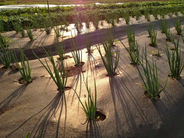 Onions are coming along