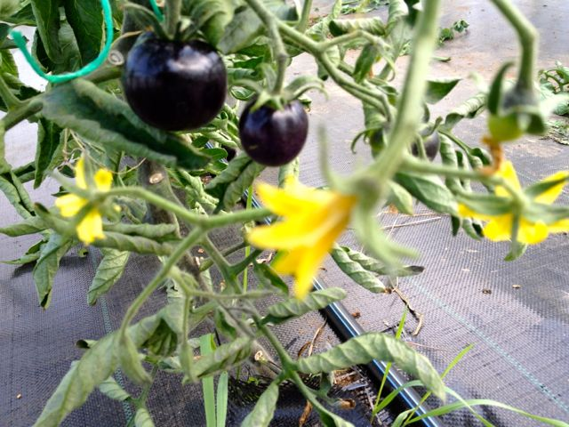 Purple tomatoes!