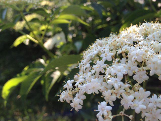 Elderberry blossom.