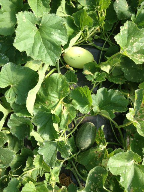 Here come the melons!