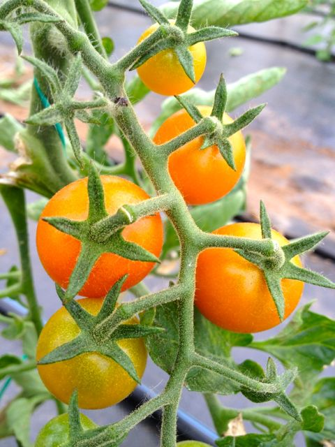 Sungold cherry tomatoes coming along.  After the photo, they disappeared.  Hmm....