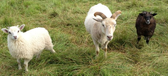 The newest twin lambs, Stephanie and Cassie, are growing well