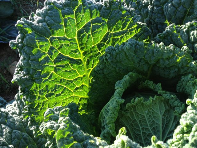 Savoy cabbage in morning light