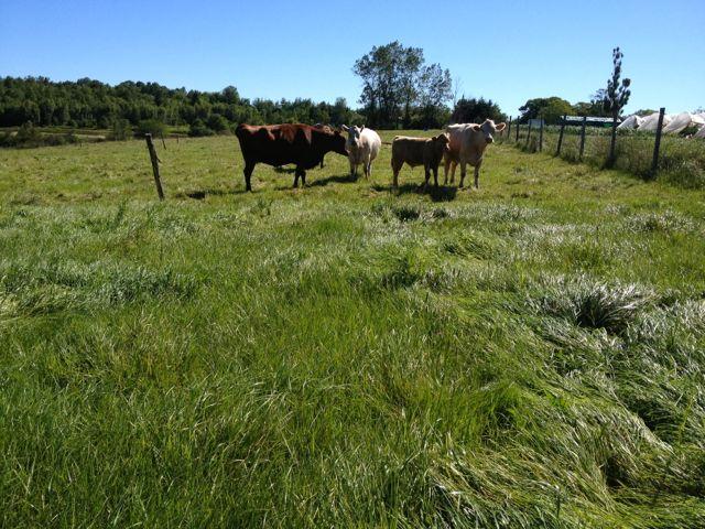 cowspasture13