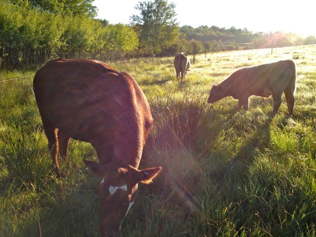 morningcows