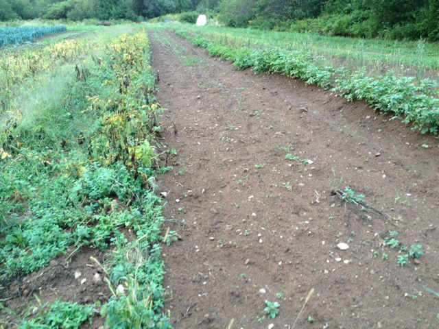 This is exciting: potatoes on right from our experimental seed is not getting blight like the potatoes on the left