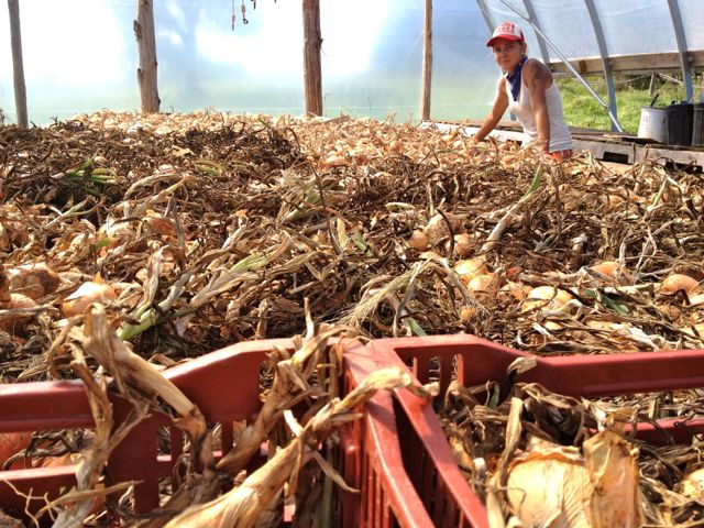 Cassie and David harvested the onions and they are drying in the greenhouse