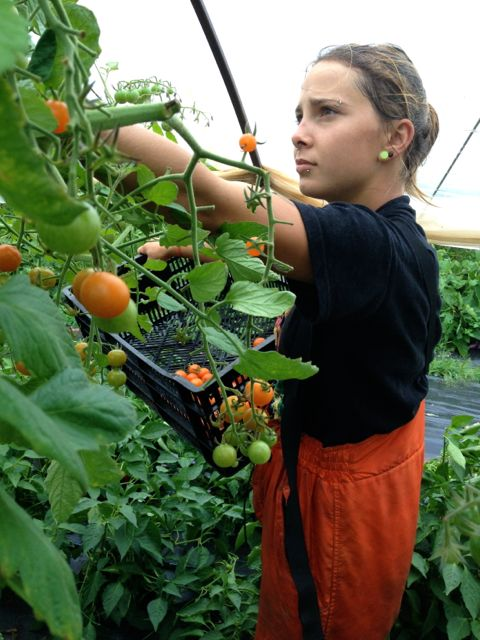 Cassie picking sungolds