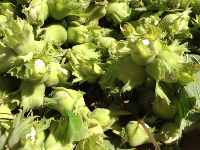 We harvested hazelnuts this week