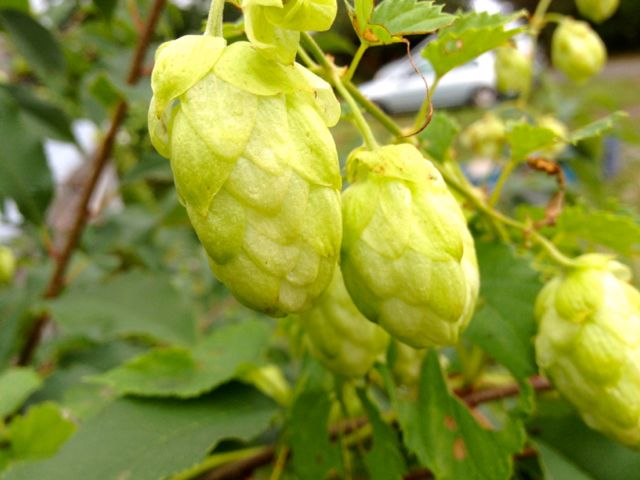 Anyone interested in hops?  We will offer them as an extra next week