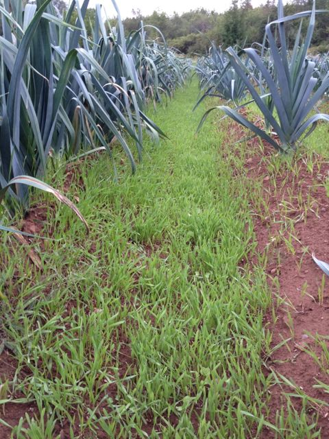 Rye growing between rows of leeks.  Great for preventing soil erosion, and weed control