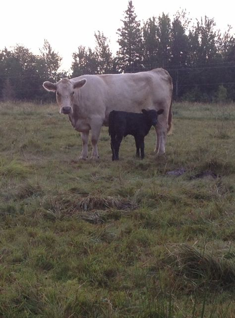 One of the cows had a bull calf.