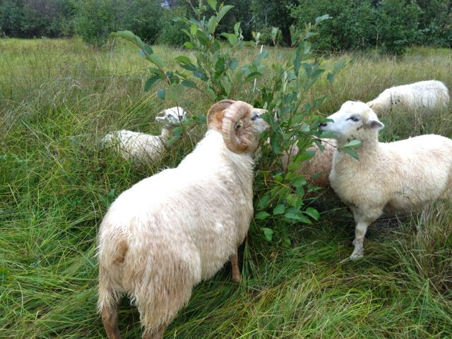The sheep are eating the alders at the bottom of the pasture.  If anyone has alders to get rid of,  I have a team for you!