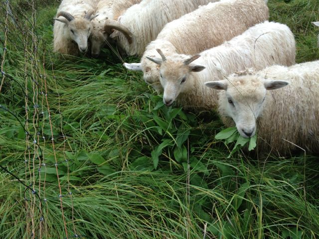 Thank you sheep for eating all that nasty napweed!  The pasture is starting to fill in with clover.