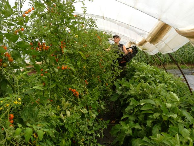 Forgive me.  Another sungold tomato photo with Stephanie picking.