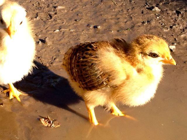 chick21