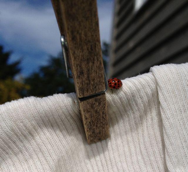 Ladybird beetle outbreak.  Yay!