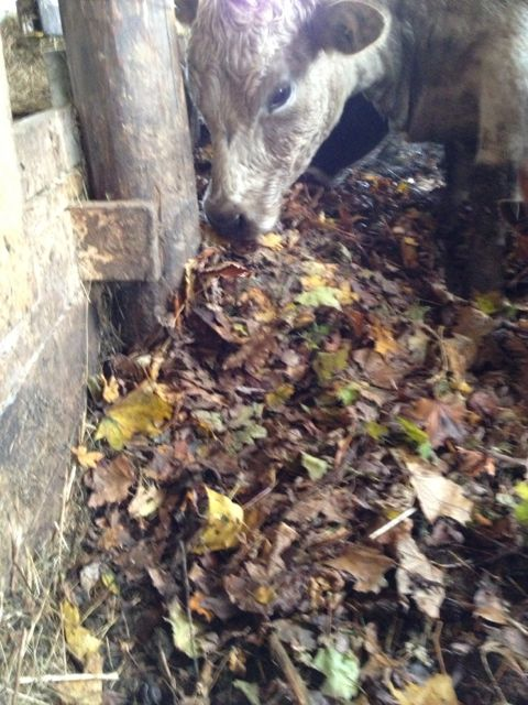 Leaves in the barn add carbon to absorb nutrients, help with composting, and make the animals more comfortable.
