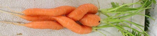 carrotlove