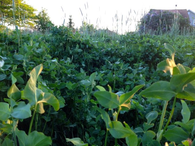Cover crops in between the raspberry rows