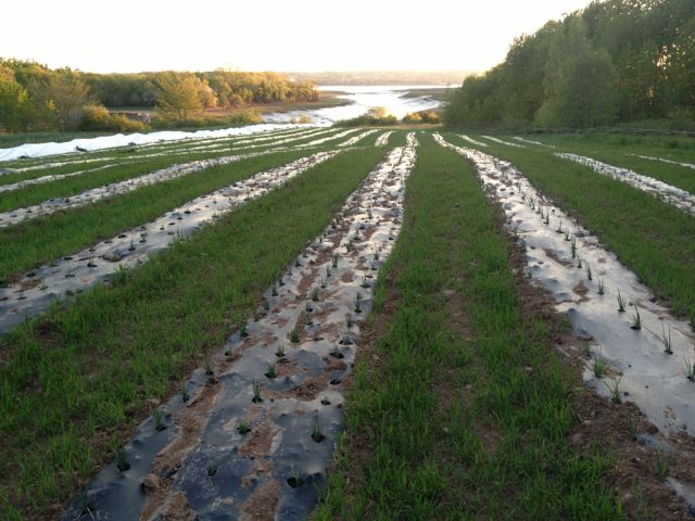 Onions stretching all the way down to the river