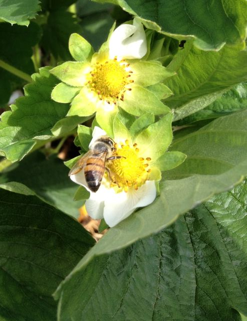 Strawberry blossoms with bee doing its job