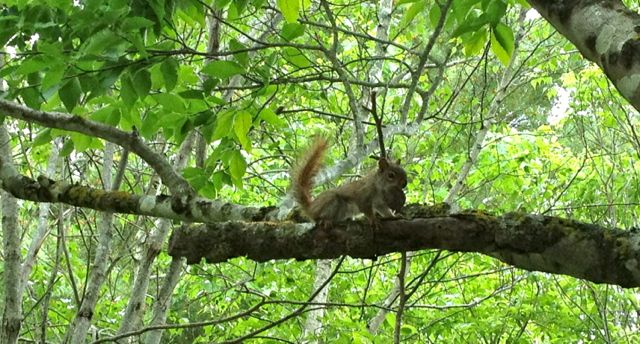 squirrelbutternut