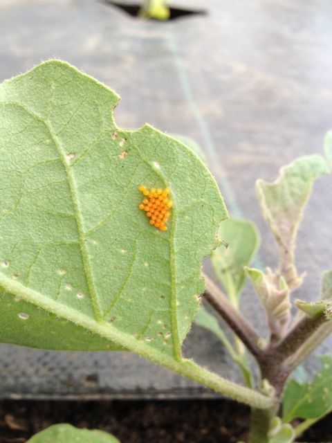 Confession: I killed the little colorado potato beetles-to-be.