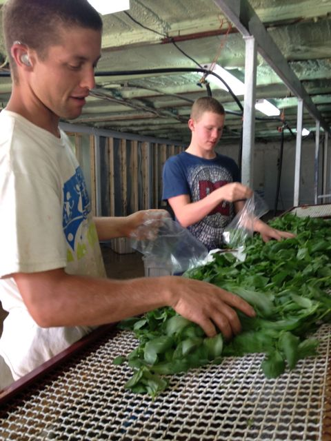 Bruce and Peter packing basil