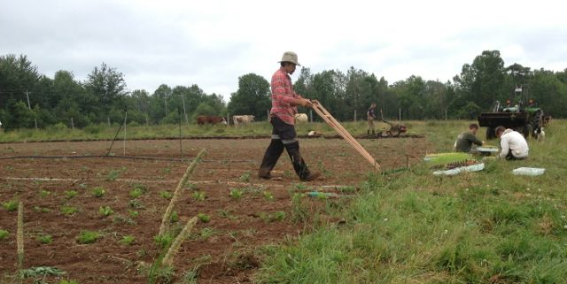 Benjamin using the wheel hoe to prepare parsnips for hilling.  David applying compost in the background with the cattle looking on
