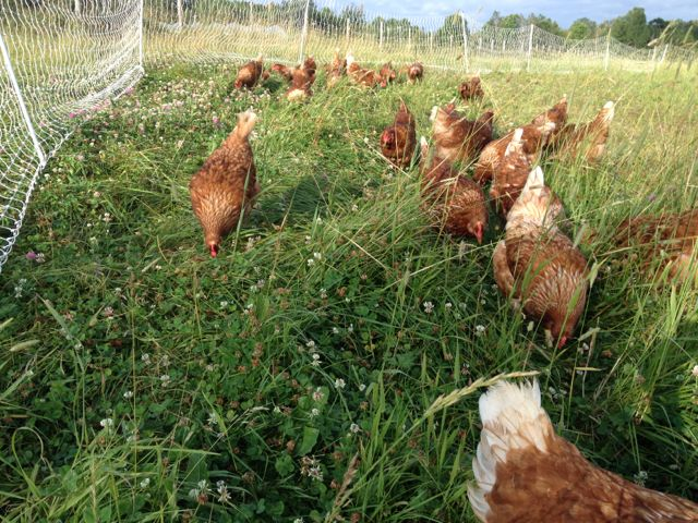 Laying hens just got a new patch of clover