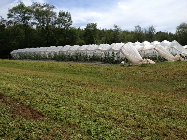 Hoop houses after the storm and after mowing the buckwheat around them