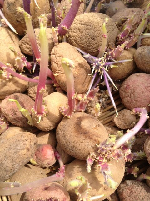 These are a collection of potatoes selected by Raoul Robinson for disease resistance.  I think they are so pretty