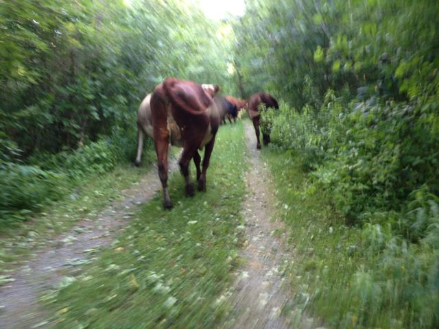 I took this blurry photo while running after the cattle