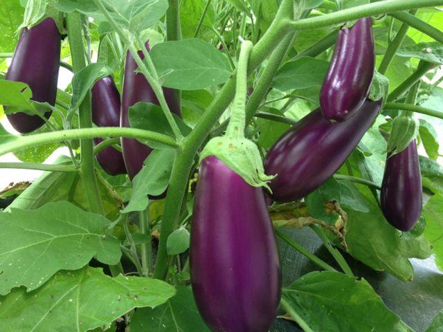 eggplant13